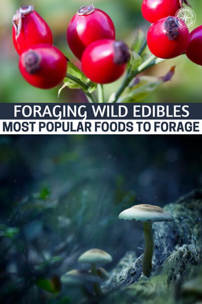 Foraging Wild Edibles – Most Popular Foods to Forage - This is a great article that can offer you up some knowledge on the subject of wild edibles. Of course, knowledge is only one part of the puzzle. If you are going to truly take advantage of this thing you need to get out there and find them, process them, cook them and eat them.