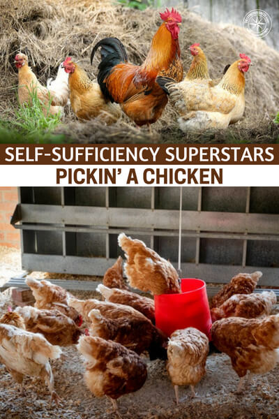 Self-Sufficiency Superstars – Pickin' A Chicken - Knowing which type of chicken will fit you best is always a great way start your chicken journey. There are many species and some will be better layers while others will be better meat birds.