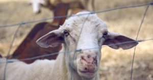 That's When He Bought a Goat… - This article is a great look at how one persons goat purchase changed his world. If only it could be so simple. You will enjoy this simple but enjoyable read on one persons journey.