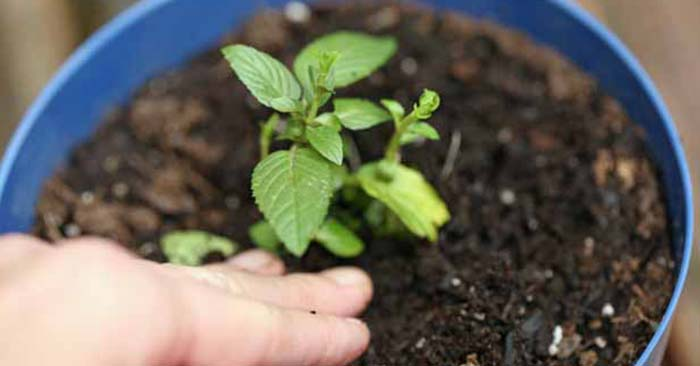 How to Grow a Mint Plant From Cuttings – A Step-by-Step Picture Tutorial - While waiting around for a certain plant to seed might not be an option you can take a cutting use that right now! That is a benefit that should not be over looked. Mint is an incredibly prolific perennial and growing it from a cutting is described in great detail in this post. Use this skill for your own propagation.