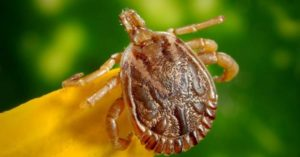 Ticks and Lyme Disease – The CDC's Plea for Help - Ticks, and specifically deer ticks, spread this disease. When they bite, they pass along bacteria called Borrelia, which in turn causes all of the problems Lyme disease is known for. Lyme disease has mainly been reported throughout countries in the Northern Hemisphere, including the US, Canada, and the UK.