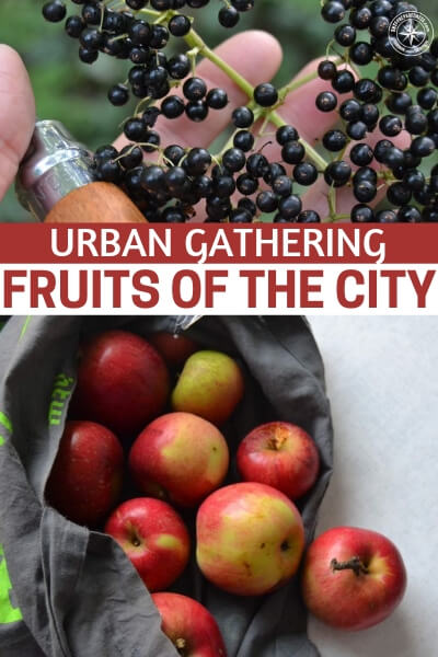 Urban Gathering - Fruits of the City - In this Instructable you are going to get a taste of what is available in an urban gathering situation.  Don't be surprised to  find that there is more food around you than you thought. In fact, you could be blown away at the idea that you are going to have more options than you thought possible. All you need is the knowledge to take advantage of them.