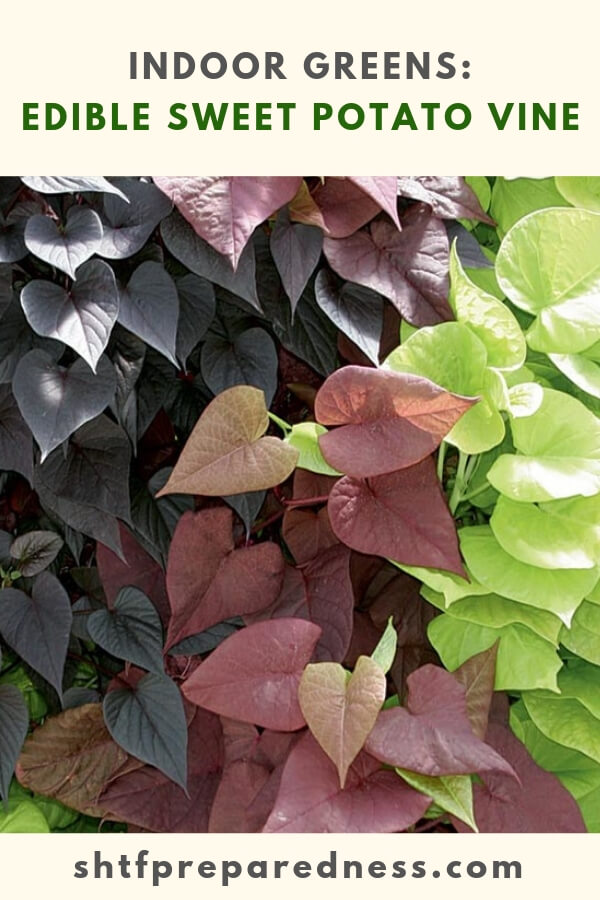Indoor Greens: Edible Sweet Potato Vine - What about growing foods indoors? There are a lot more options in this than you think. This article is a great look at what we can do to be effective when it comes to surviving something like this. Maybe growing some food indoors is the best answer to collapse gardening.
