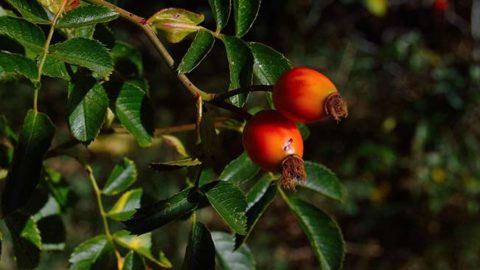 Food Producing Bushes on your Property