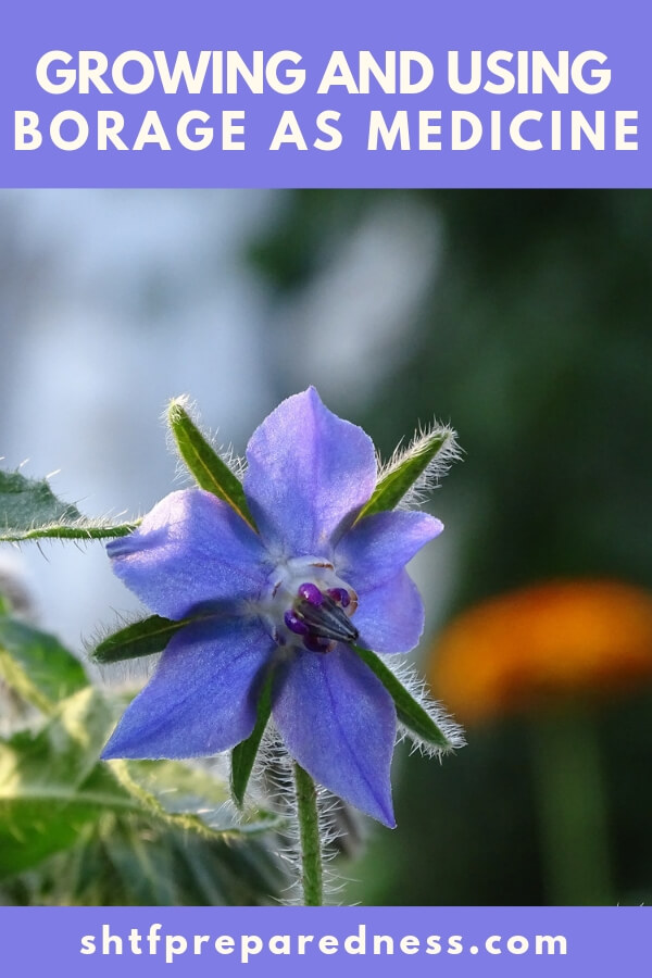 Borage is an easy to grow medicinal herb that offers up lots of benefits.
