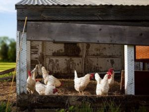 Chicken flock for living off the grid