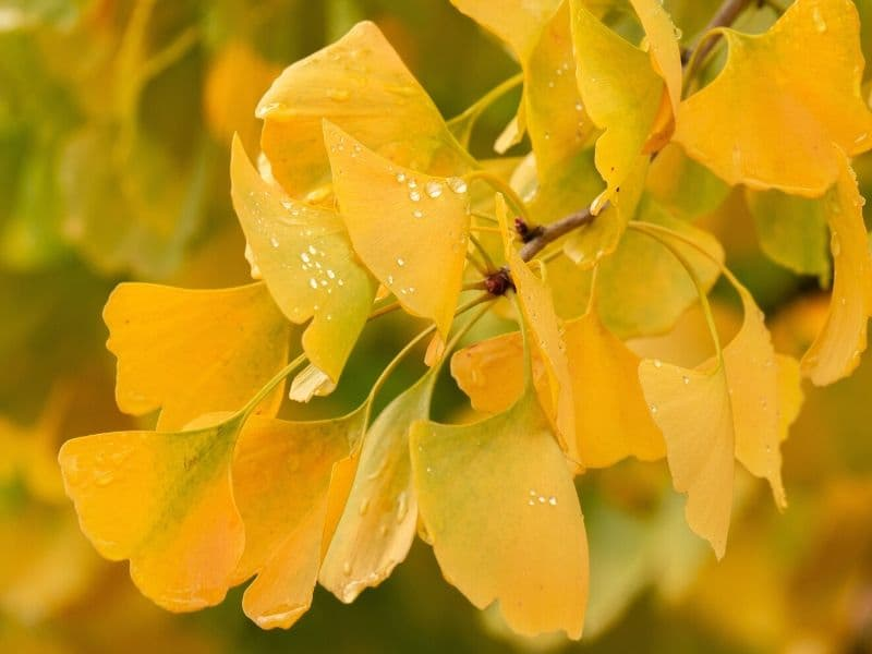 Gingko flowers - yellow