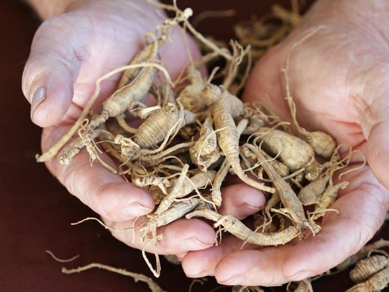 Hands holding Ginseng roots