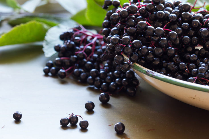 Sambucus Canadensis and Sambucus Nigra, the Edible Elderberries