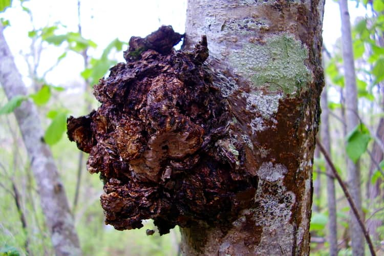 Chaga mushroom home remedy: grind into a coarse powder and brew into tea or tincture