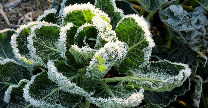 Frosted kale