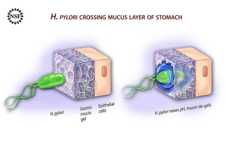 h. pylori bacteria invading the mucus layer of the stomach