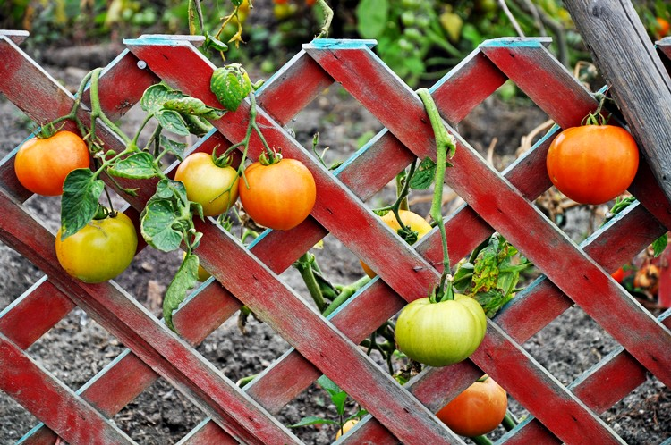 growing tomatoes on a trellis