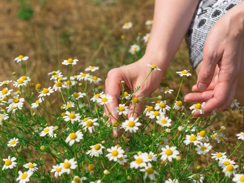 Woman harvesting chamomile flowers