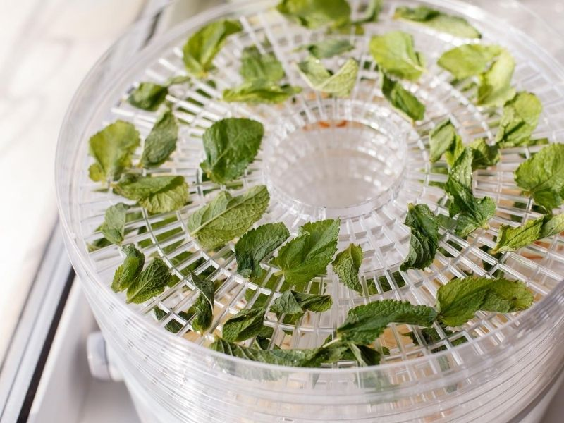Mint leaves drying up in the dehydrator